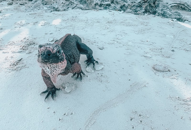 Feeding Iguanas at Allen Cay in the Bahamas