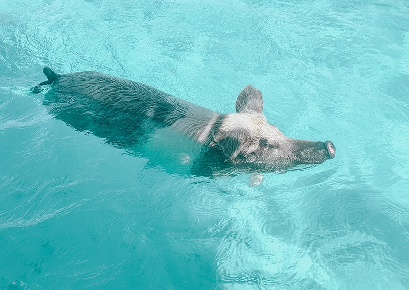 The swimming pigs of The Bahamas. Pigs of Exuma.
