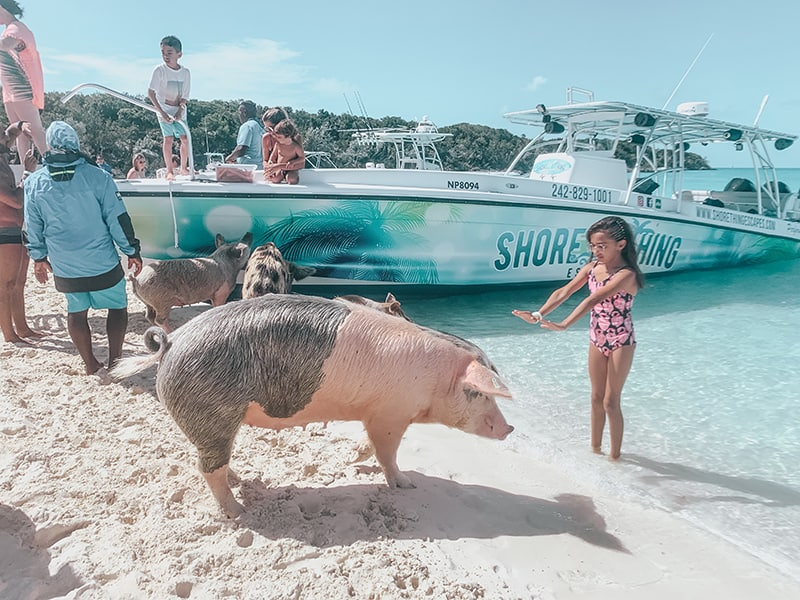 The swimming pigs of The Bahamas